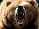angry_grizzly_istock